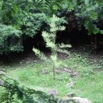 Taxodium ascendens, a dimora dal 2015 (foto 06-2016)